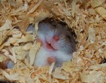 Laughing Hamster