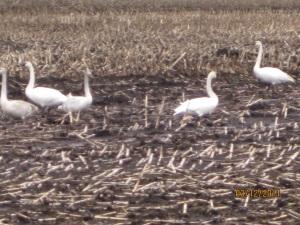 Geese in winter corn field