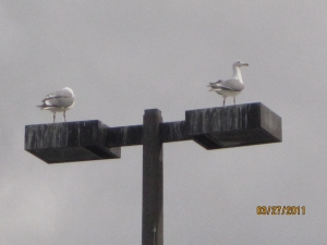 Seagulls on alert