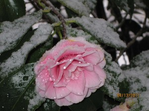 A Camelia in snow in April
