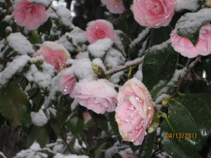 More Camelias in snow
