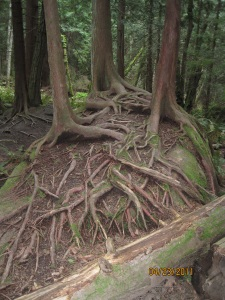 Tree roots growing over a big rock