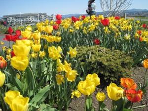 Tulips at Squalicum Harbor