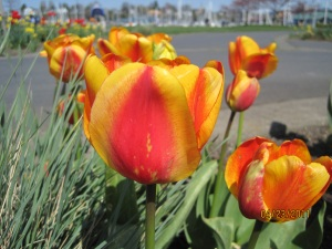 Tulips at Squalicum Harbor