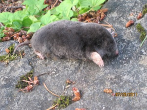 deceased mole